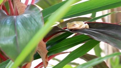 Asian frog