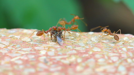 red ants working