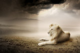 Fototapety White lion at sunset