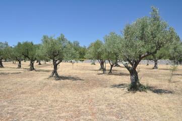 Olvenhain in Istrien
