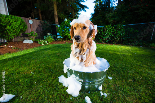 Golden Retriever Dog getting a bath
