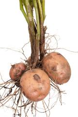 Potato root