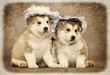Malamute puppies
