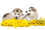 Malamute puppies with yellow flowers