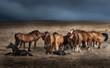 Cavalli in libertà con puledrini