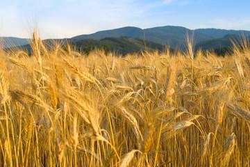 Getreide 026