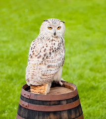 Siberian eagle owl, bubo bubo sibiricus, on a wooden barrel