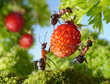 team of ants gathering strawberry, agriculture teamwork