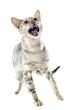 chat bengal en colère