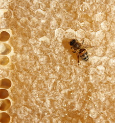 Honeycomb and bee. Macro shot.