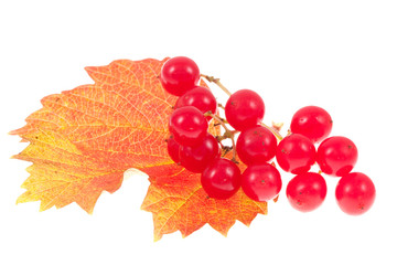 Red viburnum isolated