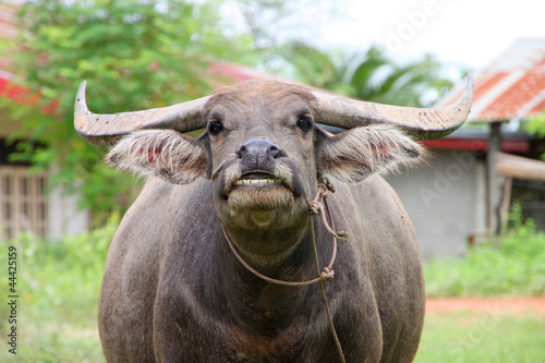 Thai water buffalo