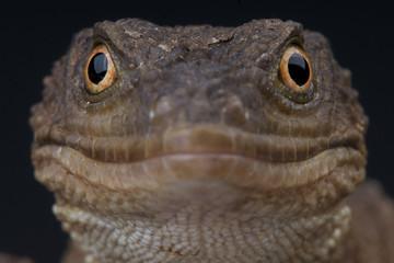 Knob-scaled lizard / Xenosaurus grandis