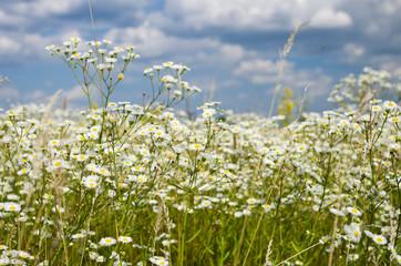 Camomile meadow