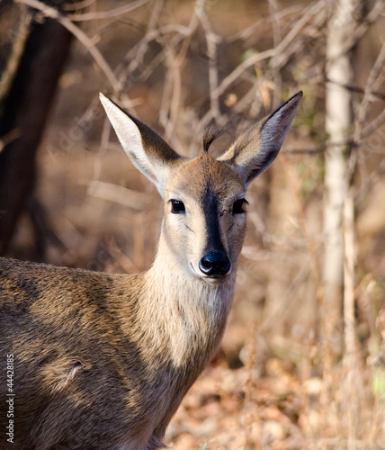 Portrait of Steenbok towards camera