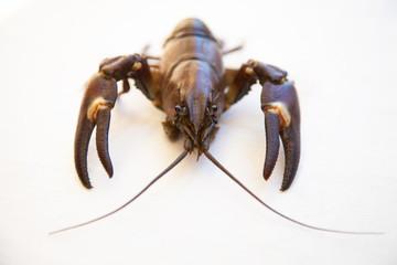 Crayfish fresh