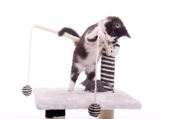 junge Katze spielt mit Maus