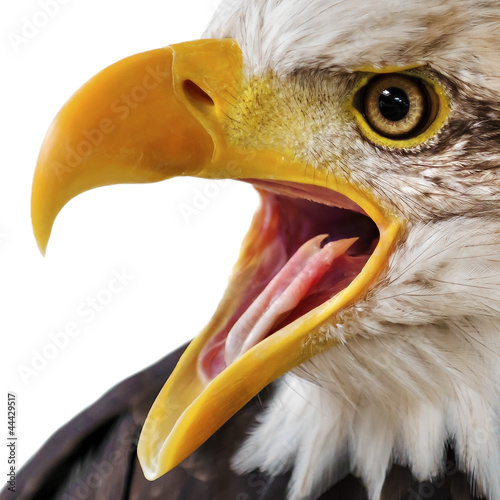 Bald Eagle Portrait Close-up