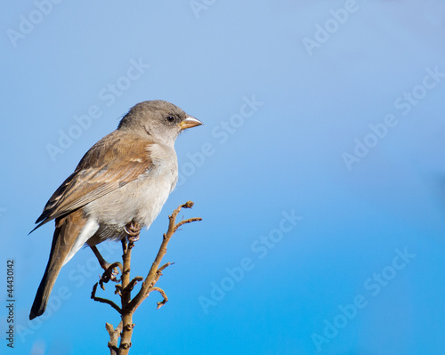 Cape Sparrow with blues