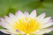 Closeup of lotus