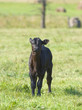Black Angus Calf
