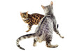 chats bengal