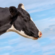 Portrait of a black and white spotted cow