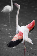 Pink Flamingo Proudly Standing Tall