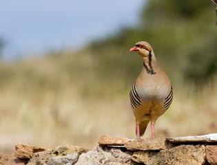 Chukar Partridge (Alectoris chukar)