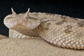 Saharan horned viper / Cerastes cerastes