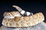 Red rattlesnake / Crotalus ruber poster