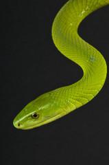 Green mamba / Dendroaspis angusticeps