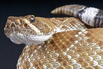 Red rattlesnake / Crotalus ruber