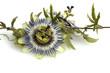 Passionsblume, Passiflora caerulea