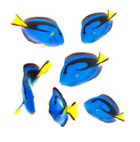 reef fish, blue tang isolated on white background