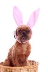 junger Hund als Bunny