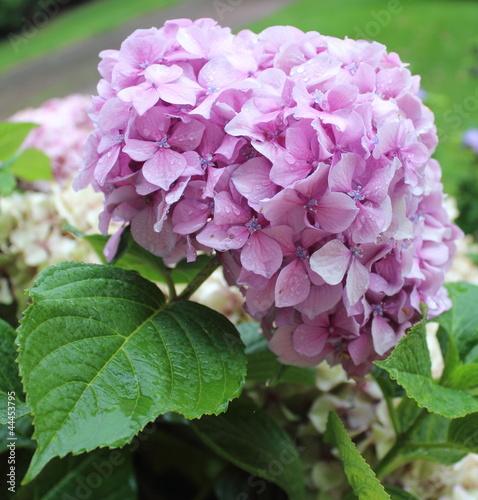 Hortensia rose aprés la pluie