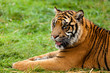 Portrait of Sumatran Tiger Lying Down