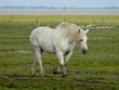Pferde auf Juist 20