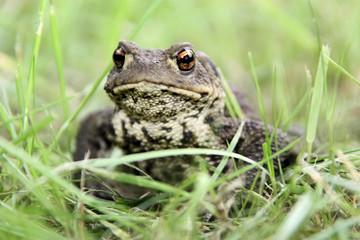 Erdkröte im Gras