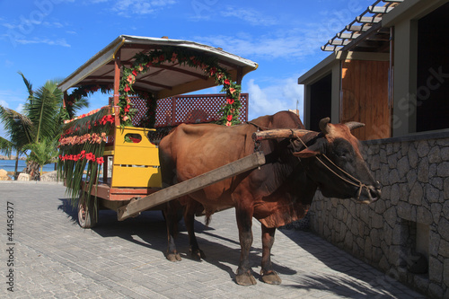 bull carriage for wedding in Seychelles