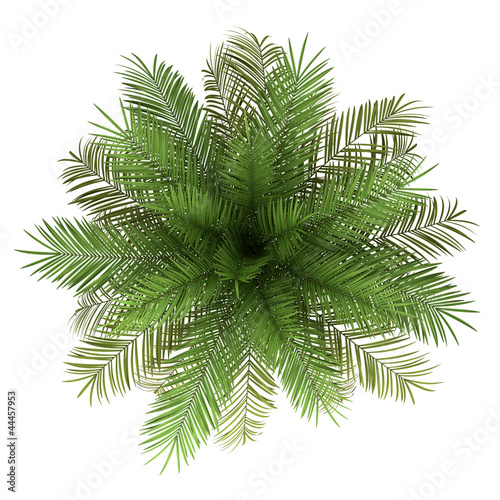 Aluminium Palm boom top view of date palm tree isolated on white background