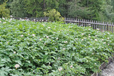 potato plants in flower in the garden in summer