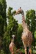 Two african origin giraffe standing in an enclosure at mysore zo