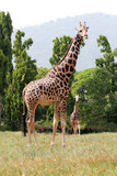 Two african origin giraffe standing in an enclosure at mysore zo poster