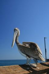 pelicano en el muelle de la playa de santa monica
