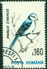 Azure Tit (Parus cyanus)