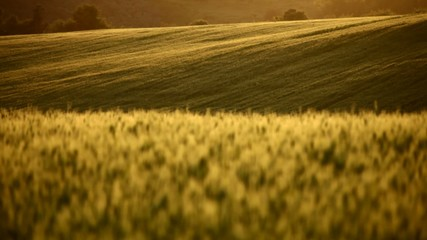 Field of wheat on hill