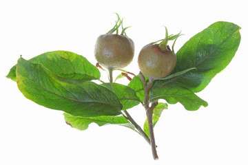 Mispel (Mespilus germanica)