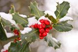 Fototapety Branche de houx sous la neige